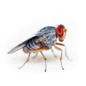 Flightless Fruit Fly Cultures
