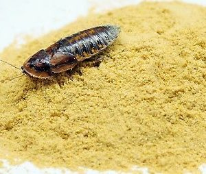 Roach and cricket chow