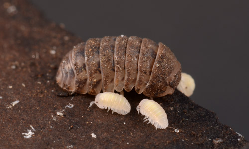 Pill Bug Isopods